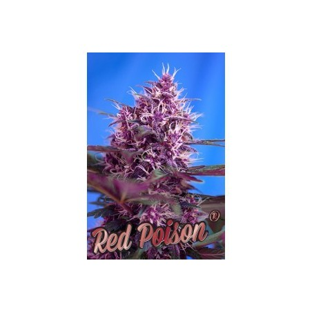 AUTO RED POISON SWEET SEEDS