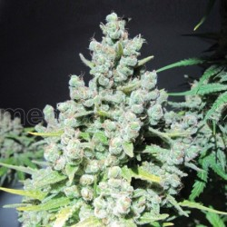 Malakoff Feminizada  Medical Seeds